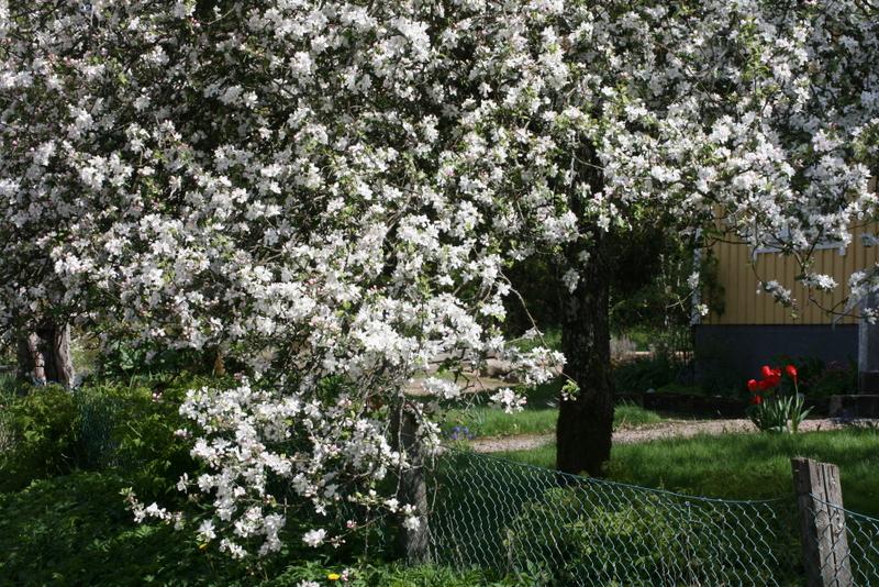 Blomstrende æbletræer