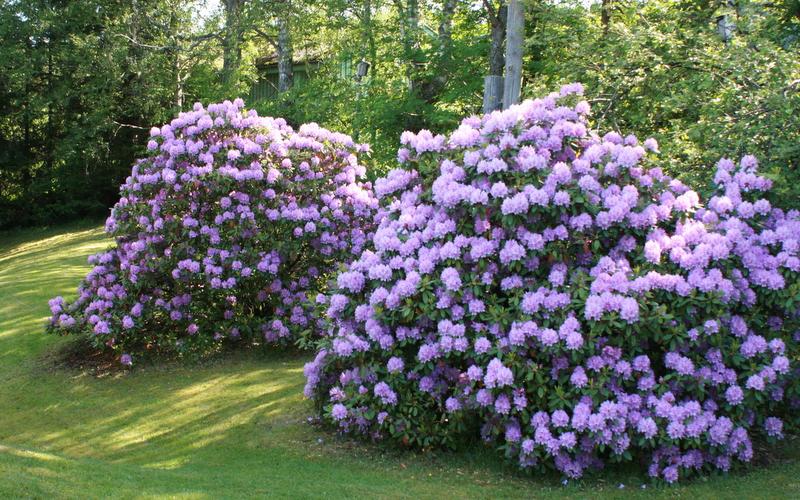 Rhododendronbuskene